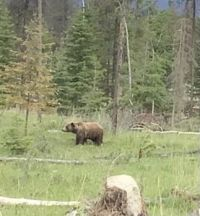 Grizzly Bear in Jasper National Park