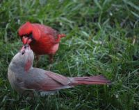 Northern cardinal male feeds his mate first before he eats.