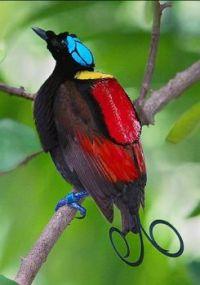 Winsons Bird of Paradise