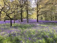 Bluebell Time in Enys Woods, Cornwall
