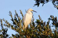 beautiful Snowy Egret at the top of a tree