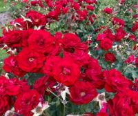 A sea of  red roses