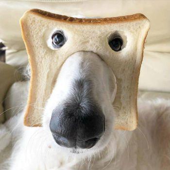 Pure Bread Dog