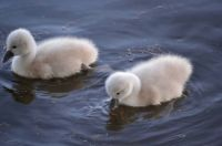 2 day old sygnets (swans) on Turkeyfoot Lake