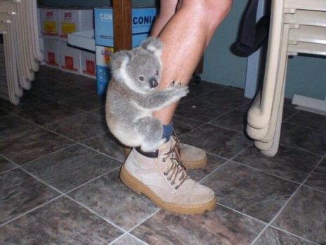 Over-koalafied.