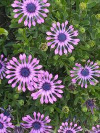 Flowers in neighbors garden (???)