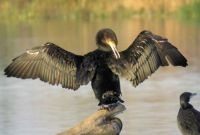cormorant detecting a spot on his wing (aalscholver)