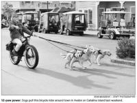 Dogs pulling cyclist