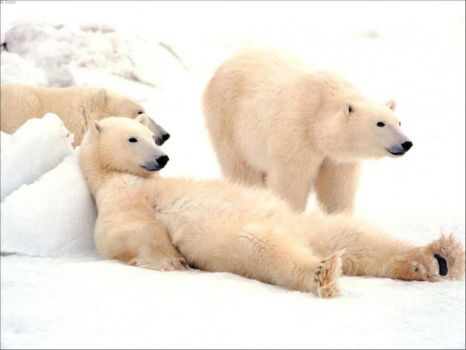 For polar bear lovers 3