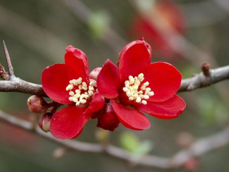 Japanese Quince - 17th Mar 2004