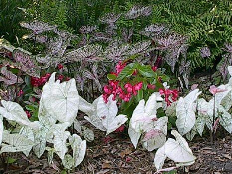Caladium Garden