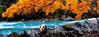 Panda by Autumn Stream.