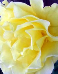 Butter Yellow Rose