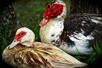 Karen's Ducks