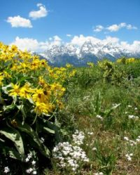 Balsam root in Grand Teton Natl. Park, Wyoming.  Hard