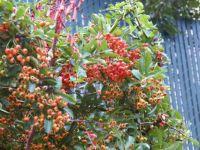 An abundance of berries.