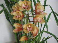 bronze orchid