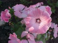 Lavatera In My Garden
