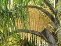 Queen palm bloom