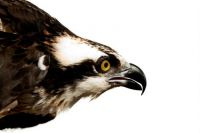 Raptor: Birds of Prew