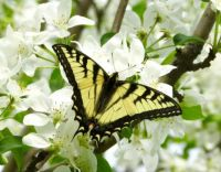 Eastern Tiger Swallowtail enjoying apple blossoms.