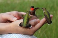 Handful of hummers!