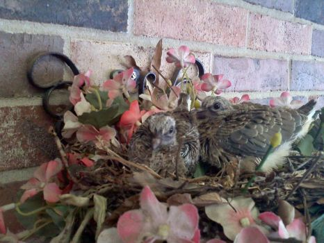 Baby Doves on Patio