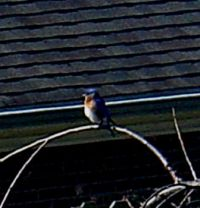 Early male Bluebird