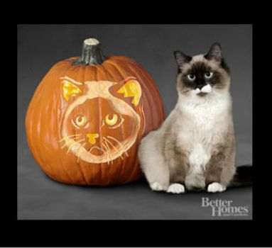 Theme: Halloween  Birman Cat Jack O'Lantern