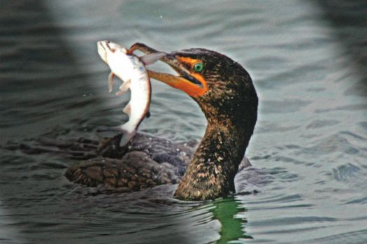Cormorant - Great Catch!