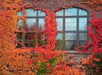 Windows framed with colorful ivy in Autumn