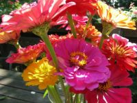 zinnias from my garden
