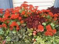 kalanchoe and coleus