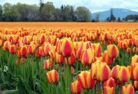 Tulips-Skagit Valley
