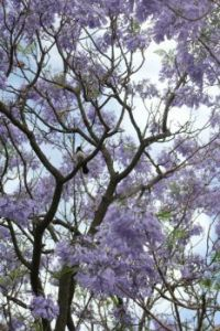 Willie in Jacaranda