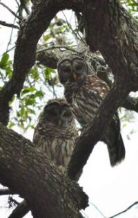 Mr and Mrs Bard Owl