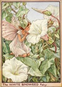 The White Bindweed Fairy
