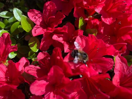 Bumble bee on azalea