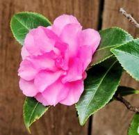 Sasanqua Camellia in Bloom