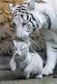 White Siberian Tiger with her Cub