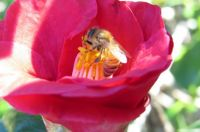 Busy Bee on Camellia