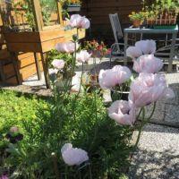 Oriental Poppy Corner