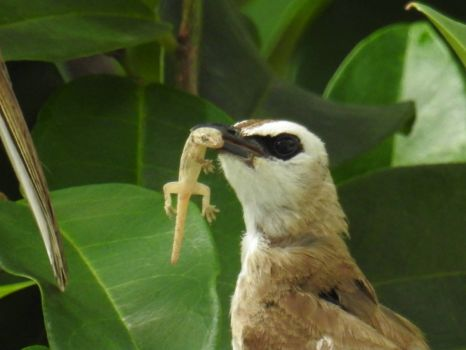 Yellow-vented Bulbul with food for her baby