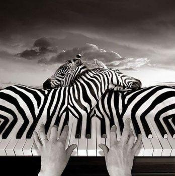 Zebra Melody