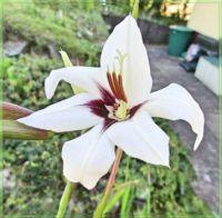 Acidanthera bicolor, Gladiolus murielae, Paví orchidej