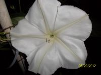 Moonflower Madness