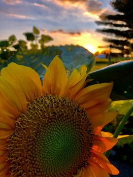 Sunflower at sunset.
