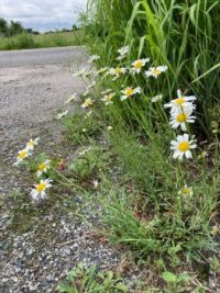 Daisies on the laneway