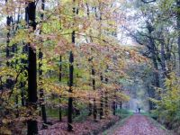 Theme trees: Late Autumn walk in November. Beeches still showing beautiful coloured leaves.