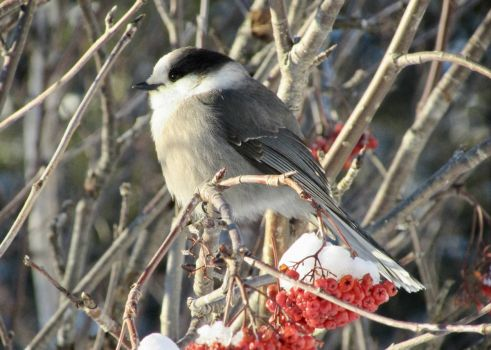 Canada jay on the mountain ash